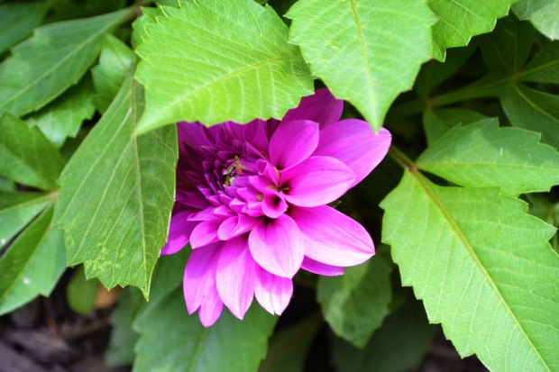 Purple Dahlia | Life Is Sweet as a Peach