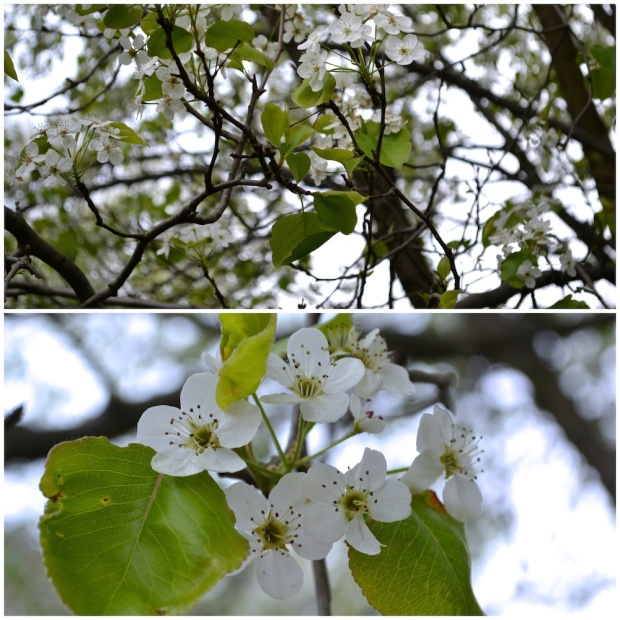 Callery Pear Tree Pennsylvania | Life Is Sweet As A Peach