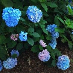 Blue Hydrangea | Life Is Sweet As A Peach