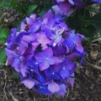 Deep Purple Hydrangea | Life Is Sweet As A Peach
