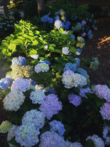 Hydrangea Hedge | Life Is Sweet As A Peach
