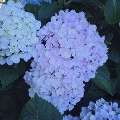 Light Purple Hydrangea | Life Is Sweet As A Peach