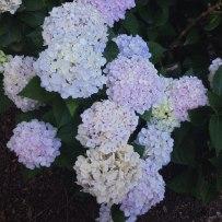 Purple, Pink & Green Hydrangea | Life Is Sweet As A Peach