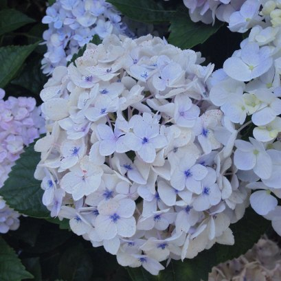 White Hydrangea With Purple Center | Life Is Sweet As A Peach